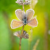 Butterfly in natural habitat (plebejus argus) Stock Image