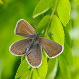 Butterfly in natural habitat (plebejus argus) Stock Photography