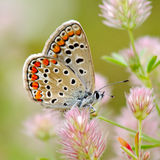 Butterfly in natural habitat (plebejus argus) Stock Images