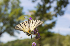 Butterfly in natural habitat Royalty Free Stock Image