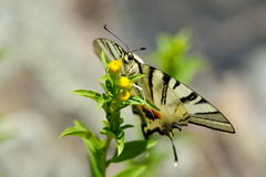 Butterfly in natural habitat (scarce swallowtail) Stock Photos