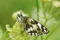 Butterfly in natural habitat Royalty Free Stock Photos