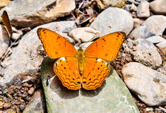 Butterfly on Natural Royalty Free Stock Photos