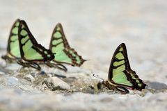 Butterfly natural water absorption Royalty Free Stock Photos