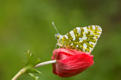 Butterfly in Nature. On the Anemone Royalty Free Stock Photography