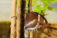 Butterfly in nature, asia thailand Royalty Free Stock Photos