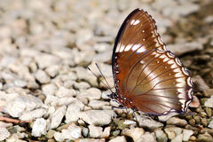 Butterfly in nature, asia thailand Royalty Free Stock Photo