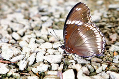 Butterfly in nature, asia thailand Stock Photography
