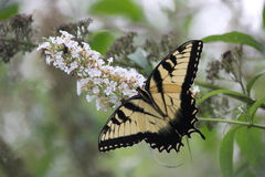 Butterfly nature butterfly bush Stock Photography
