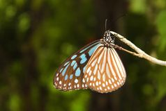 Butterfly in nature Royalty Free Stock Image