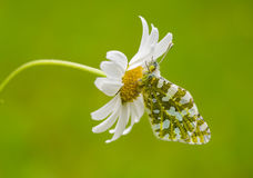 Butterfly in Nature. On the Daisy Stock Photos