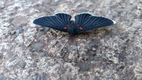 Black Butterfly. Butterfly nature insect black royalty free stock images