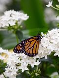 Butterfly. In nature, perfect moment of peacen Stock Photography