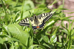 Butterfly in nature. Top view on a beautiful big yellow and black butterfly on green grass nature background in sunny weather Royalty Free Stock Image