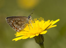 Butterfly in Nature. Nature; butterfly on the yellow flower Royalty Free Stock Images