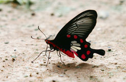 Butterfly NE Thailand Royalty Free Stock Photos