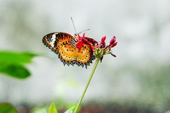 Butterfly nectar. Royalty Free Stock Image