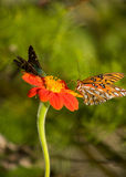Butterfly neighbors. Gulf fritillary and long tailed skipper butterfly on the same orange Mexican sunflower.  Taken in my home garden in Wilmington, North Royalty Free Stock Images