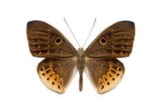 Butterfly Nemeobiiidae. Isolated on white background Stock Image