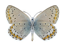 Butterfly Neolycaena sinensis (underside) Royalty Free Stock Photos