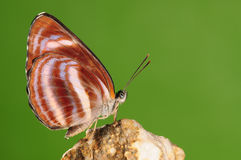 Butterfly ,Neptis miah Stock Photography