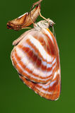 Butterfly ,Neptis miah Stock Images