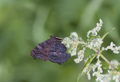 Butterfly on a nettle plant Stock Images