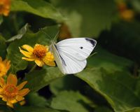 Butterfly No1. Small white butterfly enjoying a yellow flower Royalty Free Stock Photos