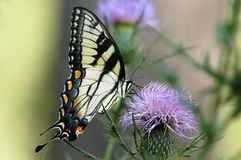 Butterfly No6. Swallow tail butterfly and purple wild flower Stock Image