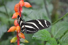 Butterfly nr.1. Black and white butterfly at Wildlands, Emmen stock photography