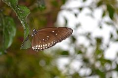 Butterfly nr.3. Brown tropical butterfly at Wildlands, Emmen royalty free stock photography