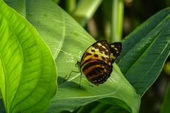 Butterfly, Nymphalidae Heliconius xanthocles Royalty Free Stock Photos