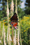 Butterfly Nymphalidae on a white, elongated flower. Royalty Free Stock Photography