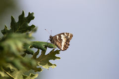Butterfly on Oak Leaves Stock Photography