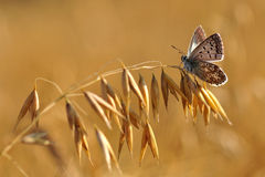 Butterfly on a oat. BUTTERFLY, POLAND.Butterfly on wheat in the morning. Poland on August Royalty Free Stock Photography