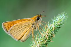 Butterfly ochlodes sylvanus  sitting on the ear. Butterfly ochlodes sylvanus with yellow folded wings sitting on the ear of grass Stock Image