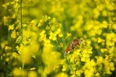 Butterfly on oilseed rape flower. Royalty Free Stock Image