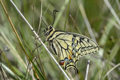 Butterfly Old World Swallowtail Stock Photos