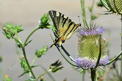Butterfly Old world swallowtail Papilio Machaon feeding himself on spiky flower. Afternoon sun Stock Images