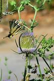 Butterfly Old world swallowtail Papilio Machaon feeding himself on spiky flower. Afternoon sun Royalty Free Stock Images