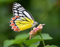 Free Butterfly On A Flower Royalty Free Stock Images - 105179159