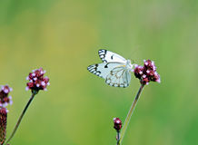 Free Butterfly On A Flower Stock Photography - 11616682