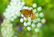 Free Butterfly On A Flower Stock Photos - 20720373