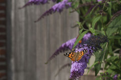 Free Butterfly On Buddleja Shurb Royalty Free Stock Photography - 87731817
