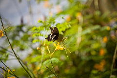 Butterfly On Cassia Flower Royalty Free Stock Photos