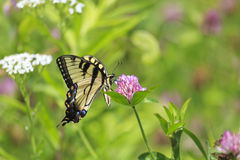Free Butterfly On Clover Royalty Free Stock Photo - 45131875