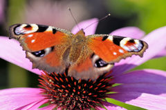 Free Butterfly On Flower Stock Images - 10950174