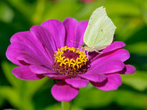Free Butterfly On Flower Royalty Free Stock Photography - 10950237