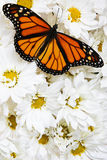 Butterfly On Flowers Royalty Free Stock Image