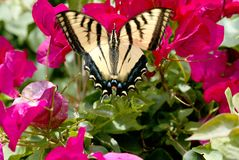 Free Butterfly On Flowers Stock Photography - 467422